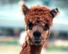 Visit our Alpacas!