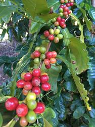 Coffee Plantation, Tamborine Mountain