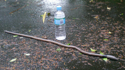 Giant earthworm, Tamborine Worms, Heavy Rain
