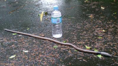 Giant earthworm, Tamborine Worms, Heavy Rain