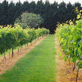 Cedar Creek Estate Vineyard, Cellar Door, Wine Tours, Winery