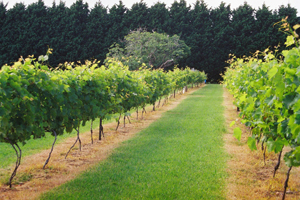 Cedar Creek estate, Vineyard, Winery, Cellar Door Sales, Wine Tasting